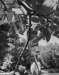 Park School ~ tree by the pond (karma (Karen)) Tags: parkschool pikesville maryland trees berries leaves dof bokeh mono bw hmbt