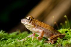 Treefrog (Boana bischoffi) (Alessandher Piva) Tags: boana blumenau santa catarina alessandher piva foto biólogo professor sapo perereca anfíbio anura