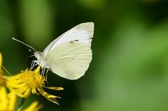 [Pieridae] Pieris (Weissling) (pe_ma) Tags: schmetterling butterfly weissling pieris