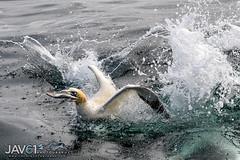 Victory ... !!!-5797 (George Vittman) Tags: bird dive fish catch meal success nikonpassion bassrock scotland uk wildlifephotography jav61photography jav61 fantasticnature ngc