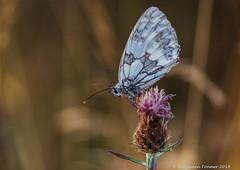Marbled White - Melanargia galathea (frattonparker) Tags: btonner bokeh butterfly depthoffield farfalle isleofwight lightroom6 mariposa meadow nikond810 papilon raw schmetterling tamron28300mm frattonparker roosting