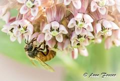 A Bee on Milkweed (Anne Marie Fraser) Tags: macro flower bee milkweed pretty pink nature garden summer flowers