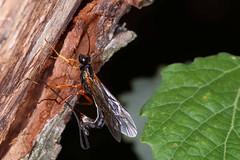Ichneumon wasp (wjpostma) Tags: ephialtes sluipwesp ichneumonwasp scorpionwasp schlupfwespe icneumónido ichneumon ngc npc godscreation