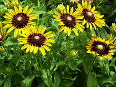 Sunshine (npbiffar) Tags: bright flower sunflower yellow macro plant garden outdoor npbiffar lumix fz200 daisy coth5 ngc