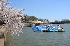 DSC_0083 (afagen) Tags: washington dc washingtondc districtofcolumbia tidalbasin cherryblossom sakura blossom paddleboat