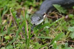 Close encounters with a snake (vbvacruiser) Tags: virginia virginiabeach snake herpetology reptile blackratsnake nikon nikond7100
