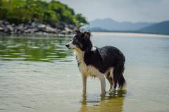 Lara (mcvmjr1971) Tags: trilhandocomdidi 2018 50mmf18d d7000 itaipu praiadeitaipu beach bolinha bordercollie brincando cachorras cachorro correndo dog lagoa mmoraes nikon niterói