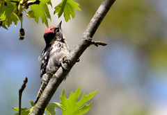 Dendrocopus minor (MoGoutz) Tags: lesser spotted woodpecker bird druming dendrocopos minor lake volvi pic épeichette