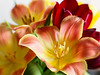 Gallaxy (Smiffy'37) Tags: tulips colour flowers closeup lensbaby nature