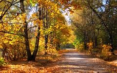 Golden autumn (Золотая осень) (MikleRav) Tags: autumn moscow birch осень russia москва парк park