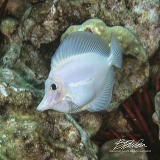 Albino Tang