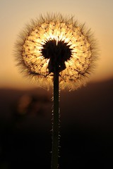Dandelion or Angel looking at the sunset? (Tomek Sz) Tags: dandelion sunset evening beauty nature