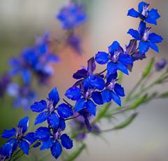 Happy Earth Day 2018 (Waldemar*) Tags: earthday flowers wildflowers blue meyeroptik orestor 135mm gdr eastgermany nikon flora bokeh blur d800e fotodiox