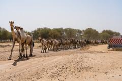 Roadside Crossings (polychromatisch) Tags: ilce7rm3 india sony alpha 7r3 7riii fe 24105 f4 g oss camel