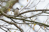Tufted Titmouse sitting in my tree on a dreary day (John Brighenti) Tags: tuftedtitmouse tufted titmouse bird birds tree branches dreary grey gray spring overcast wildlife avian feathers tweet sony alpha a7 sel70300g zoom 300mm rockville maryland md