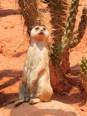 Suricato (ntnlsk) Tags: meerkat suricate suricata animal zoo portrait african nikon puebla suricato