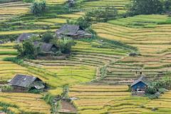 _J5K1646.0814.Lao Chải.Sapa.Lào Cai (hoanglongphoto) Tags: asia asian vietnam northvietnam northwestvietnam nortthvietnam landscape scenery vietnamlandscape vietnamscenery vietnamscene sapalandscape terraces terracedfields harvest village homes house hillside canon canoneos1dsmarkiii canonef100400mmf455 6lisusm tâybắc làocai sapa laochải phongcảnh ruộngbậcthang phongcảnhsapa ruộngbậcthangsapa lúachín mùagặt sapamùagặt sapamùalúachín bảnlàng nhữngngôinhà sườnđồi terracedfieldsinsapa