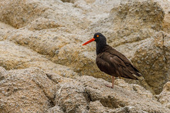 Black Oystercatcher (Allan Hack) Tags: wildlife animals montereyca blackoystercatcher loverspoint pacificgrove california unitedstates us