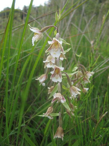 Dune slack species marsh helleborine. Photo by Micheline Sheehy Skefffington.