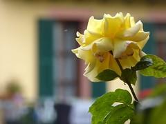 a guardia del bucato (fotomie2009) Tags: flower fiore flora fleur flor rosa rose window finestra balcony balcone yellow