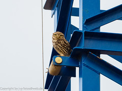 Little Owl (xrxss15) Tags: algarve animalia animals athenenoctua aves birds boavistagolfsparesort europe lagos littleowl owls portugal steinkauz strigidae tiere vögel