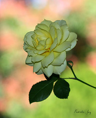 Just starting out (Pamela Jay) Tags: chameleonrose yellow plant flower beautiful garden bokeh pamelajay australia