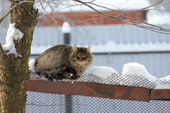 Назаборное (akk_rus) Tags: 70300mmf4556gvr nikkor70300mmf4556gifedafsvr nikkor 70300mm nikon d800 nikond800 cat cats pet pets chat chats animal animals nature feline gato кот коты кошка streetcats straycats