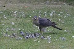 Sparrow hawk - what? (LynG67) Tags: sparrowhawk birdofprey wildlife backgarden heavilycropped feathers