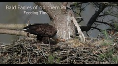 Three Little Eaglets (tkfranzen) Tags: eagle eaglesnest haliaeetusleucocephalus raptor nationalemblem nesting tnclivenature animalplanet