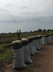 Adjumani - Charcoal sold on the road (FAO Forestry) Tags: fao un uganda refugees unhcr world bank environment energy south sudan woodfuel forestry