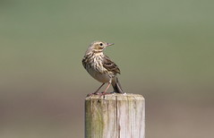 Meadow Pipit on a post (billywhiz07) Tags: meadow pipit suffolk bird uk spring post