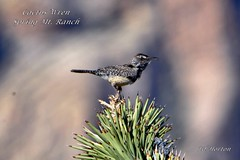 Cactus Wren (Edhorton) Tags: spring mt ranch las vegas nevada wildlife cactus wren