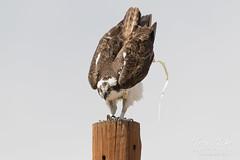 Female Osprey does her duty