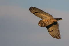 Long-eared Owl (Tim Melling) Tags: asio otus longeared owl peak district moors west yorkshire timmelling