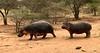 hippos (SusanKurilla) Tags: wildlife africa kenya tanzania wild safari adventure hippo