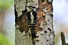 Downy Woodpecker (female), Minnesota, Anoka County, Fridley, Springbrook Nature Center (EC Leatherberry) Tags: woodpecker wildlife bird downywoodpeckerfemale minnesota anokacounty fridleyminnesota springbrooknaturecenter picoidespubescens downywoodpecker