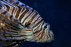 Lionfish (Jim Skovrider) Tags: afsvrmicronikkor105mmf28gifed adobephotoshoplightroom d800 danmark denmark macro micro nikon nikond800 nikonfx randersregnskov sb900 animal animalsincaptivity nikkor zoo