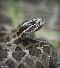 Eastern Massasaauga Rattlesnake (Nick Scobel) Tags: eastern massasauga rattlesnake rattler venomous sistrurus catenatus michigan snake pit viper fangs texture scaled coiled defensive hidden camouflage