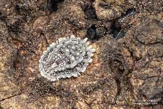 Scale insect (Monophlebidae) - DSC_6052
