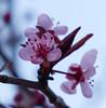 P2133072acrop (caligula1995) Tags: plumtree flowers 2018