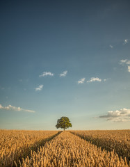 One (grbush) Tags: tree lonetree minimalism minimalist landscape bedfordshire wheat farm countryside rural clouds sonyilce7 tokinaatx116prodxaf1116mmf28