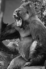 365 #199 (PeteMartin) Tags: 365 ape artis gorilla zoo bw amsterdam netherlands nld