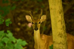 Deer Whitetail_1298e (Porch Dog) Tags: 2018 garywhittington nikond750 nikkor200500mm kentucky wildlife nature outdoors deer whitetail buck male velvet antlers rack