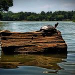 Turtle in Prospect Park thumbnail