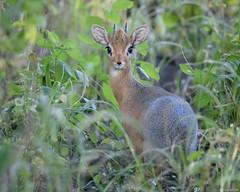 Innocent Eyes (ttarpd) Tags: republic namibia southern subsaharan africa safari nature wild wildlife waterberg plateau national park otjiwarongo damara kirks dikdik small antelope herbivore madoqua kirkii