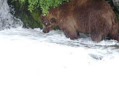 DSC07587 (jrucker94) Tags: alaska katmai katmainationalpark nationalpark bear bears grizzly grizzlybear brooksriver nature outdoors