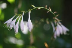 DSC09174 (Old Lenses New Camera) Tags: sony a7r sigma macro 100mm f28 plants garden flowers sigmaxq hosta