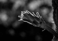 Cactus Flower ©2018 Steven Karp (kartofish) Tags: stanforduniversity cactus flower blackandwhite paloalto fuji fujifilm xt2 california depthoffield bokeh