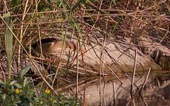 Blongios nain - IMBF3832 (6franc6) Tags: occitanie languedoc gard 30 petitecamargue juillet 2018 6franc6