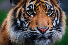 Hypnotize (Tyson Poeckh) Tags: tiger wildlife animals canon wildcats hunter stripes zoo cub sumatran pointdefiance tacoma